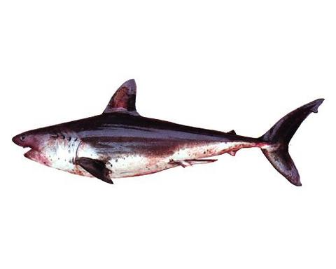 ネズミザメ(モウカサメ).jpg
